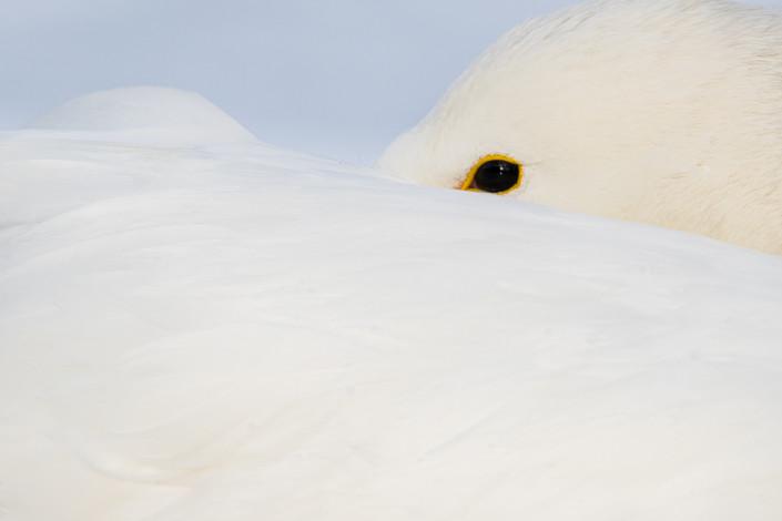 whooper swan closeup hokkaido marco ronconi nature wildlife photography kussharo cigno selvatico dettaglio marco ronconi fotografia naturalistica giappone hokkaido lago kussharo tour hokkaido