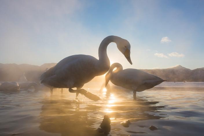 whooper swans at sunrise lake kussharo hokkaido marco ronconi nature wildlife photographer cigni selvatici alba lago kussharo hokkaido marco ronconi fotografo natura fotografia naturalistica