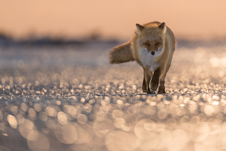 red fox walking on a golden beach hokkaido japan marco ronconi nature wildlife photography volpe rossa cammina su spiaggia dorata marco ronconi fotografo fotografia naturalistica hokkaido giappone