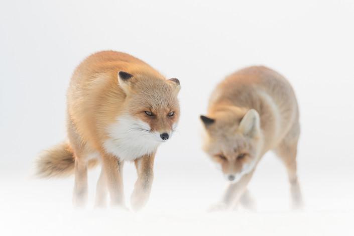 two foxes in the storm hokkaido japan marco ronconi wildlife nature photography volpi nella tormenta hokkaido giappone marco ronconi fotografo natura fotografia naturalistica