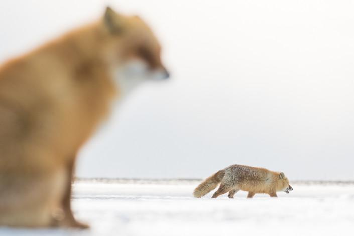 two foxes on the snow hokkaido nemuro japan marco ronconi nature wildlife photographer due volpi nella neve hokkaido giappone marco ronconi nature wildlife photographer volpi nella neve hokkaido giappone marco ronconi fotografo fotografia naturalistica