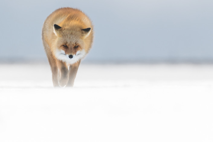 red fox walking on ice hokkaido nemuro hokkaido marco ronconi wildlife photography volpe rossa sul ghiaccio hokkaido marco ronconi fotografo natura fotografia naturalistica hokkaido giappone