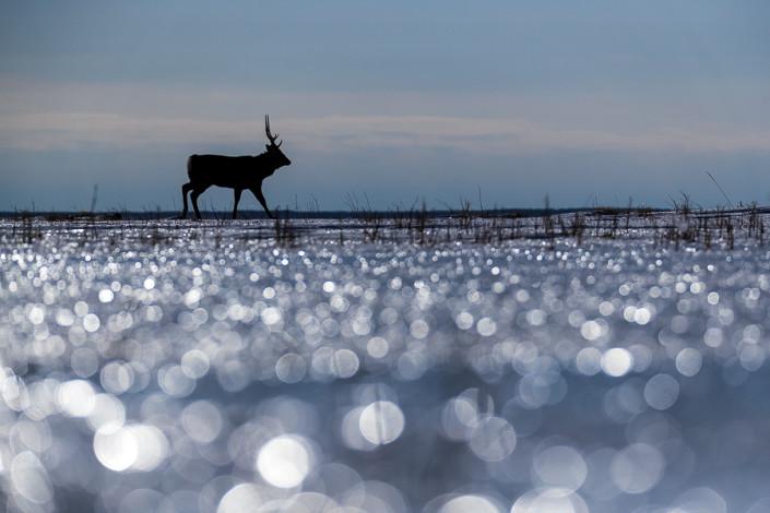 sika deer on a frozen lake hokkaido notsuke peninsula marco ronconi wildlife photography cervo sika sul lago ghiacciato hokkaido penisola di notsuke bokeh marco ronconi fotografia naturalistica natura selvaggio selvatico giappone