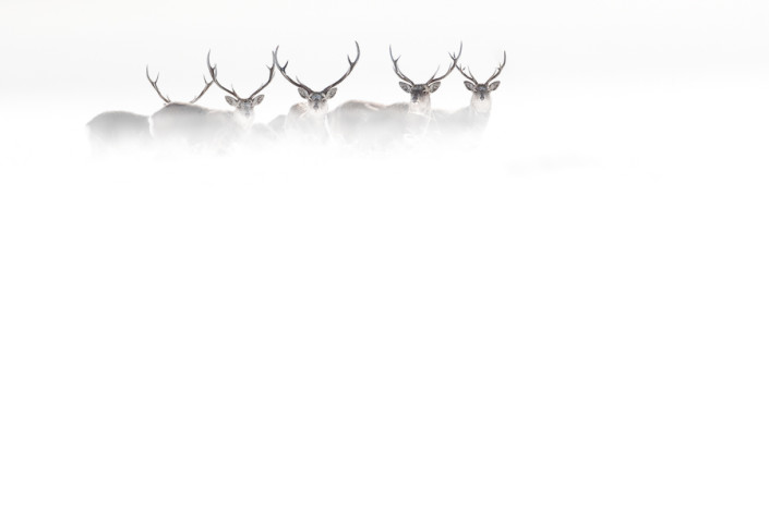 sika deers in the storm hokkaido nemuro marco ronconi wildlife nature photography cervi sika nella tormenta hokkaido giappone fotografia naturalistica