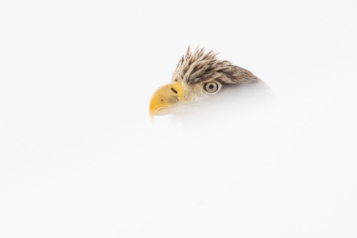 white tailed eagle portrait hokkaido rausu marco ronconi wildlife nature photography aquila di mare coda bianca hokkaido giappone marco ronconi fotografia naturalistica natura selvatico selvaggio