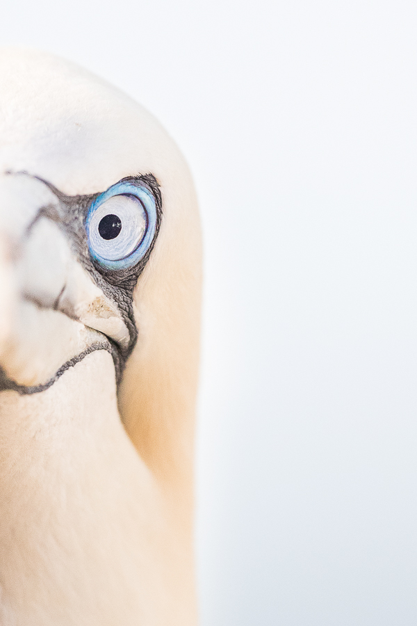 gannet closeup portrait bassrock island scotland marco ronconi nature wildlife photography ritratto di sula bassana isola di bassrock scozia marco ronconi fotografo natura fotografia naturalistica sigma 500f4 sport