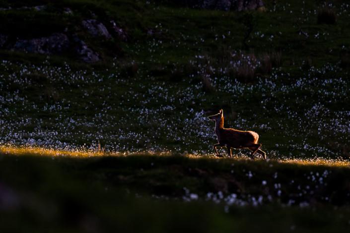 backlit deer mull island scotland hebrides marco ronconi nature wildlife photographer cervo controluce isola di mull scozia marco ronconi fotografo natura fotografia naturalistica