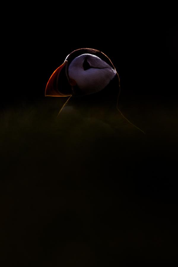backlit puffin farne island scotland marco ronconi nature wildlife photography pulcinella di mare controluce ritratto isole farne scozia marco ronconi fotografo natura fotografia naturalistica sigma 500f4 sport