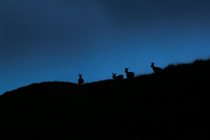 deers at blue hour scotland mull island marco ronconi nature wildlife photography cervi al crepuscolo isola di mull ebridi scozia marco ronconi fotografo natura naturalistica animali