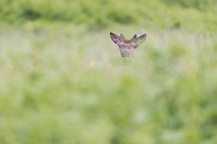 deer in green mull island scotland hebrides marco ronconi wildlife nature photography cervo nel verde isola di mull scozia marco ronconi fotografo natura fotografia naturalistica sigma 500f4 sport