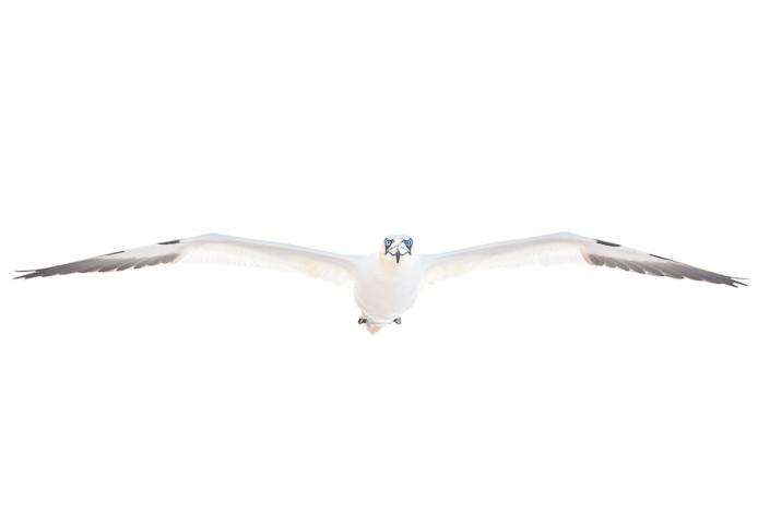 nothern gannet in flight white on white bassrock scotland marco ronconi nature wildlife photography sula isola di bassrock scozia marco ronconi fotografia naturalistica natura minimalismo sigma 500f4 sport