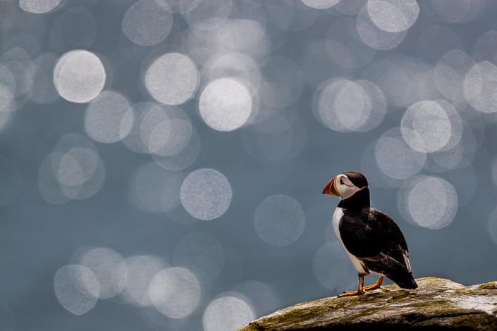backlit puffin bokeh farne island scotland marco ronconi nature wildlife photography pulcinella di mare controluce bokeh marco ronconi fotografo di natura fotografia naturalistica isole farne scozia sigma500f4 sport
