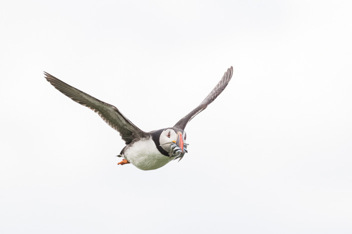 puffin in flight with fishes farne island scotland marco ronconi nature wildlife photography pulcinella di mare in volo isole farne scozia marco ronconi fotografo natura fotografia naturalistica sigma 500f4sport