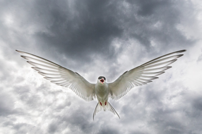 tern in flight clouds farne island scotland marco ronconi nature wildlife photography sterna in volo isole farne marco ronconi fotografo natura fotografia naturalistica
