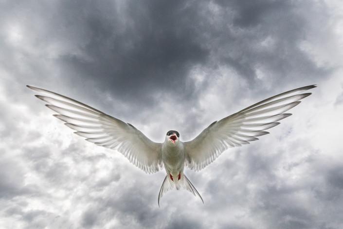 tern in flight with cloudy sky farne island scotland marco ronconi nature wildlife photography sterna in volo con cielo nuvoloso marco ronconi fotografo natura animali fotografia naturalistica sigma 1224 art