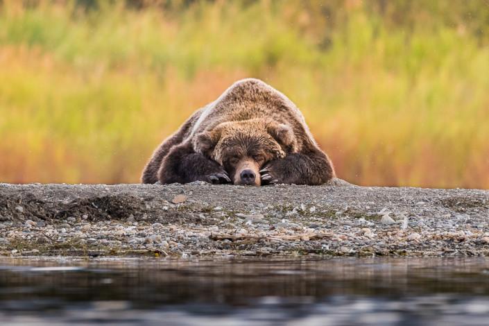 sleeping brown bear katmai alaska marco ronconi wildlife photography orso bruno riposo alaska lago naknek fotografia naturalistica