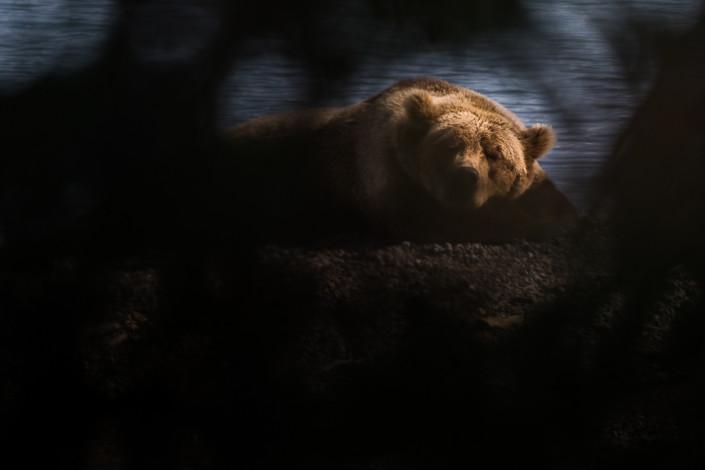 sleeping bear katmai alaska marco ronconi nature wildlife photography orso che dorme marco ronconi fotografia naturalistica animali