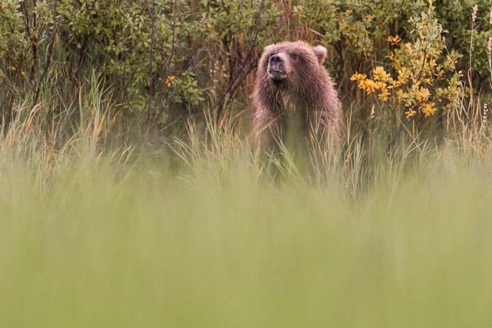 brown bear cub sniffing the ait katmai alaska marco ronconi nature wildlife photography orso bruno cucciolo annusa l'aria