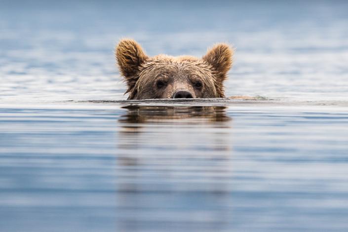 snorkeling bear Alaska katmai marco ronconi nature Wildlife photography orso bruno snorkeling Alaska katmai
