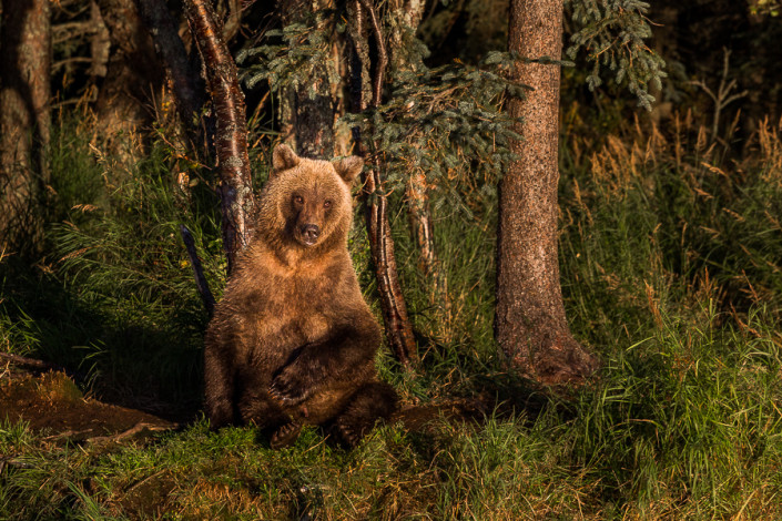 bear at sunbath katmai alaska marco ronconi nature photography orso bruno al sole katmai alaska fotografia naturalistica