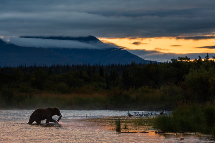 brown bear on morning fishing in katmai alaska marco ronconi nature wildlife photography orso bruno pesca fiume brooks katmai