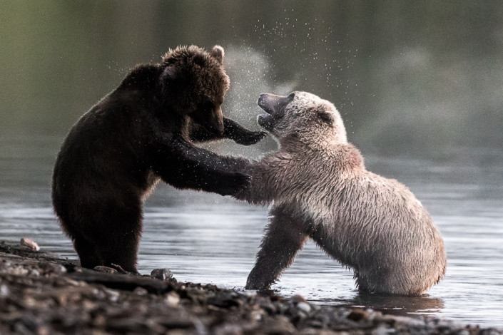 bear cubs fighting on naknek lake alaska marco ronconi nature wildlife photography piccoli orsi giocano sul lago naknek alaska katmai